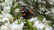 Farfalla su fiore di cicliegio